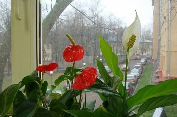 Мужской цветок антуриум: как выглядит, что означает, можно ли сажать его вместе со спатифиллумом?