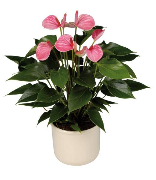 Где лучше цветку женское счастье