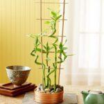 Комнатный бамбук – уход в домашних условиях, виды | Как вырастить комнатный бамбук: фото, видео, посадка, размножение, уход | Комнатное растение бамбук: уход, особенности выращивания, размножение