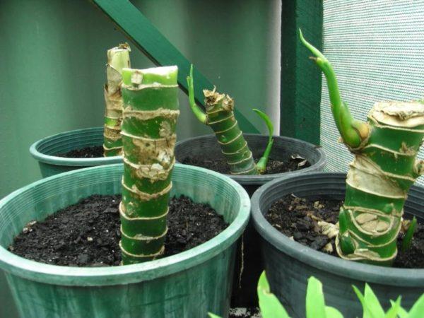 диффенбахия размножение листом