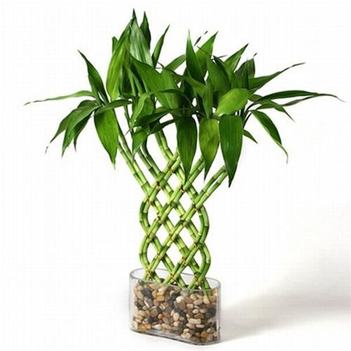 Декоративный бамбук - как растет, можно ли держать цветок в домашних условиях?