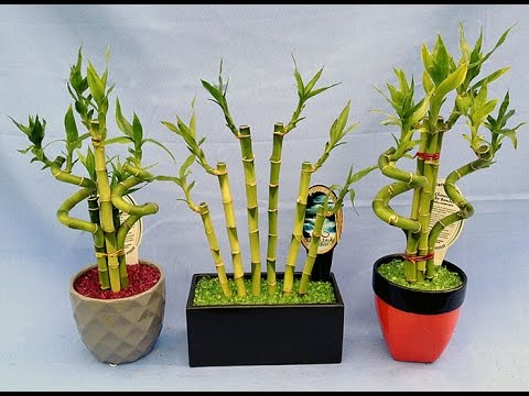Декоративный бамбук в домашних условиях уход Flowery-Blog 88