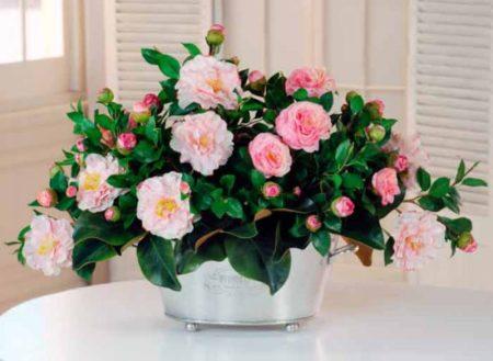 Камелия - властелины цветов. Виды, описание, можно ли держать дома?