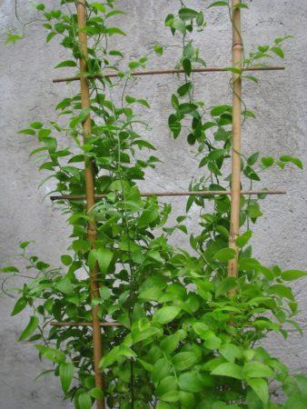 Комнатные и садовые виды аспарагуса с фото и названиями