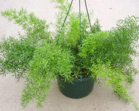 Вечнозеленый серповидный аспарагус: правила ухода в домашних условиях