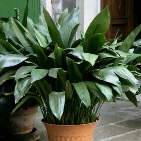 Цветок аспидистра - описание с фото, видео, уход в домашних условиях