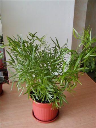 Как ухаживать за перистым аспарагусом дома? Фото, видеогалерея