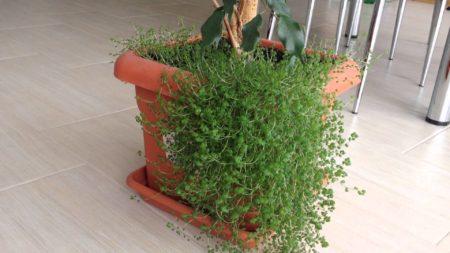 Описание, виды, условия содержания солейролии. Можно ли держать гелксину дома? Приметы и суеверия, связанные с цветком