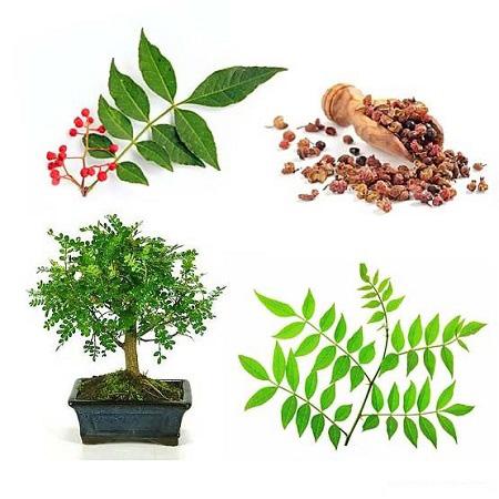 Описание, виды и уход за перечным деревом (зантоксилумом) в домашних условиях