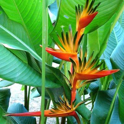 Уход за попугайным деревом в домашних условиях. Описание и виды геликонии