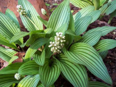 Дримиопсис - неприхотливое растение для красоты и пользы