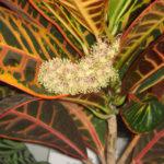 Кротон цветение в домашних условиях