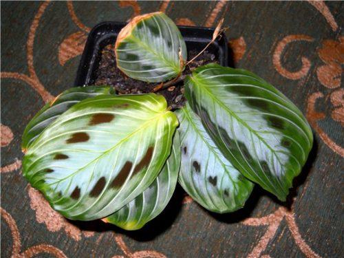 Виды маранты: фото с названиями, керховена, беложильчатая, двуцветная | 375x500