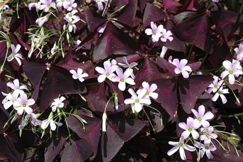 Как ухаживать за фиолетовой кислицей в комнатных условиях? Можно ли выращивать ее в саду?