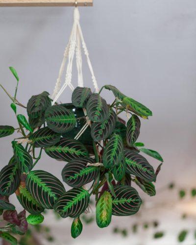 Молящийся цветок маранта - описание, микроклимат, фото, видеогалерея,