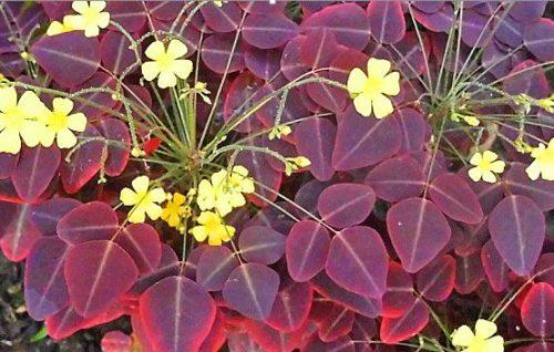 Многоликая кислица: 6 садовых и 10 комнатных видов растения