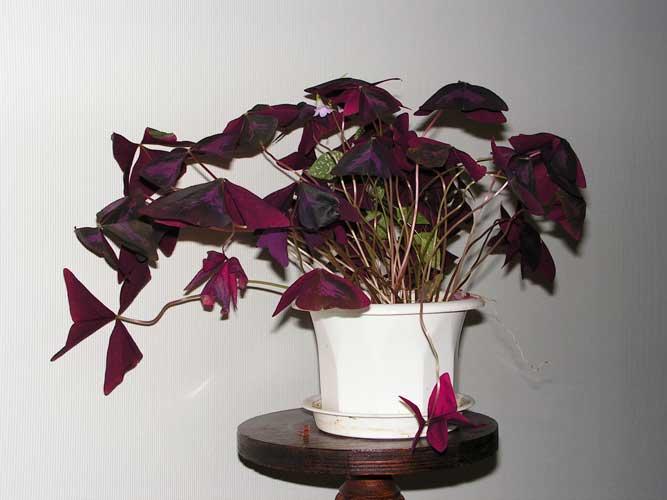 Отдам цветы и отростки - Страница 32 Oxalis-triangularis
