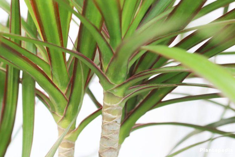 Описание, выращивание деремской драцены в домашних условиях. Фото, видеогалерея, приметы и суеверия