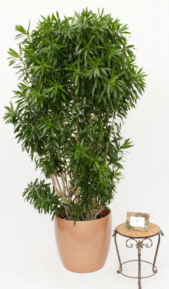 Цветок драцена - что приносит в дом как ухаживать, как выглядит драцена дерево счастья?