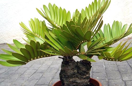 Как ухаживать за замией (картонной пальмой) в домашних условиях
