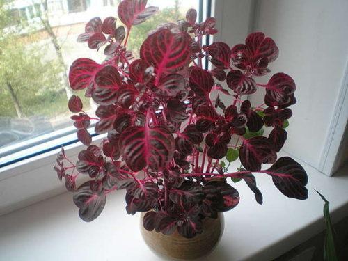 Цветок ирезине - описание, рекомендации по уходу за растением