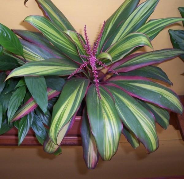 Тропическая красавица кордилина. Правила ухода, фото, приметы и суеверия, связанные с комнатным цветком