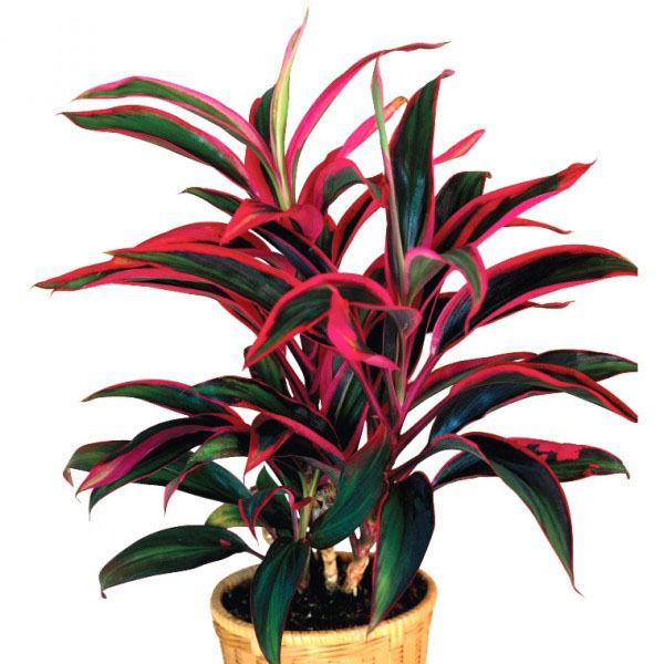 Цветок Кордилина: уход в домашних условиях, виды с фото и названиями