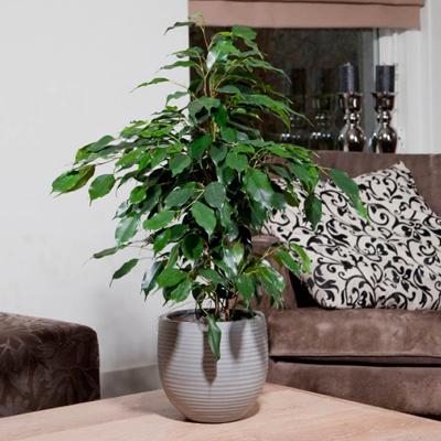 Фикус «Даниэль» - необходимый микроклимат, можно ли сделать бонсай, возможные проблемы при выращивании