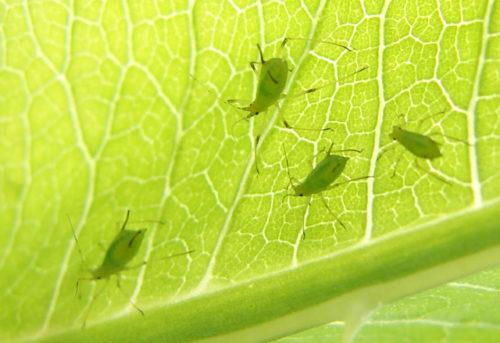 Описание, виды и уход за домашней крапивой