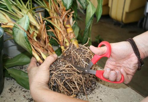 Как выращивать калатею прекрасную (Лансифолия) в домашних условиях