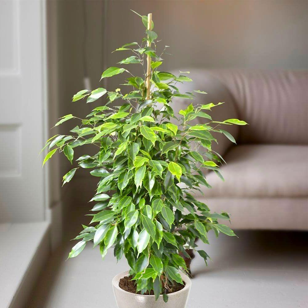 Фикус бенджамина Ficus benjamina