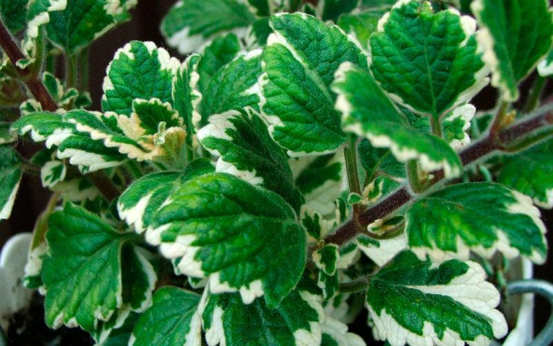 Растение похожее на мяту но не мята