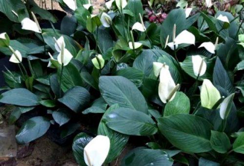 Спатифиллум: уход за растением