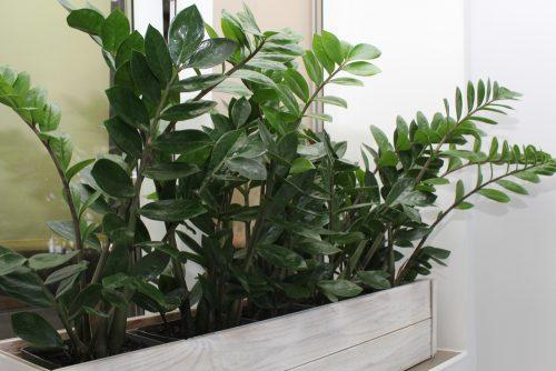 Замиокулькас (лат. Zamioculcas) Уход за растением в домашних условиях
