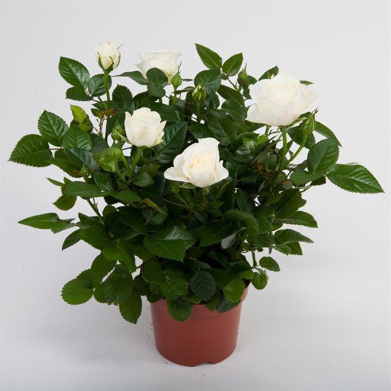 этой комнатные цветы розы фото комментарии этому