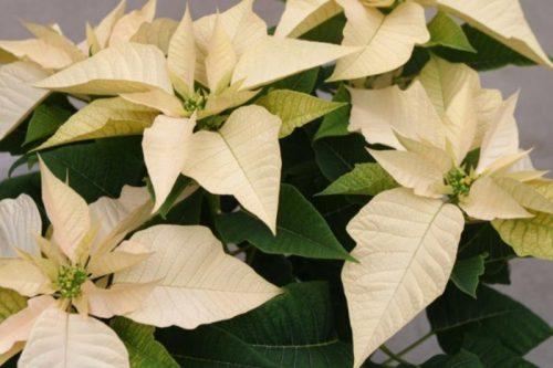 Пуансеттия или молочай красивейший, Рождественская звезда