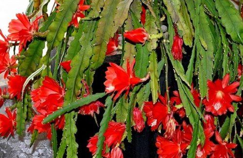 Эпифиллум. Что за растение и как за ним ухаживать