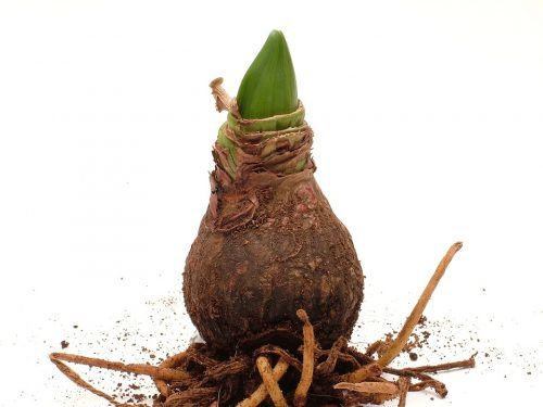 Тонкости выращивания амариллиса