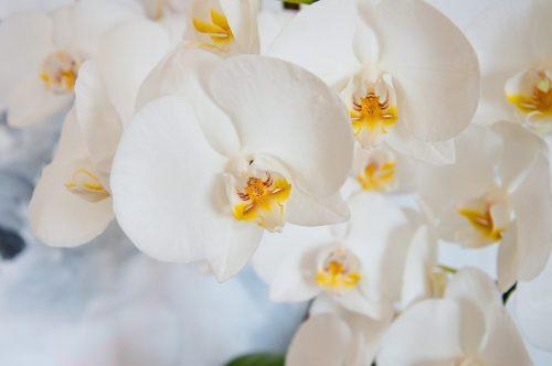 Орхидея Фаленопсис: условия выращивания