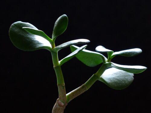 """Толстянка, крассула или """"денежное дерево"""". Особенности выращивания"""