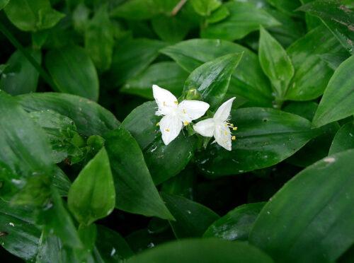 Традесканция: виды и особенности выращивания